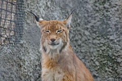 Lynx squints in the sun Royalty Free Stock Photo