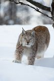 Lynx stalking in the forest. A european lynx walking in the snow. Cold winter, February, Norway Stock Images