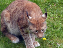 Lynx on stalking in a meadow Royalty Free Stock Photos
