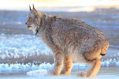 Lynx standing on a frozen river Royalty Free Stock Photo