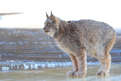Lynx standing on ice Royalty Free Stock Images
