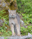 Lynx standing on log Stock Photography