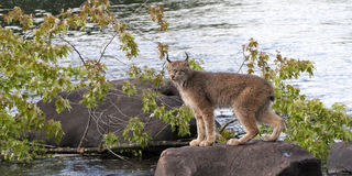 Lynx Standing on a Rock. With a river for the background Stock Images
