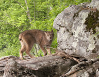 Lynx Standing on Rocks Royalty Free Stock Images