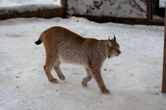 Lynx standing in the snow Stock Photo