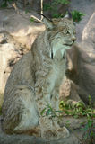 Lynx Standing Still On A Rock. Shaded closeup of an alert Canada lynx standing on a bare rock surface Stock Photography