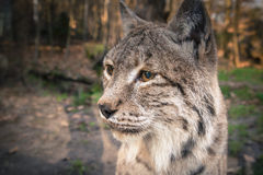 Lynx staring. Closeup of a lynx, staring at the distance Stock Photos