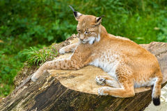 Lynx on a stomp very agile Stock Images
