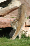 Lynx stretching. Stock Photo