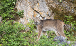Lynx striking a pose in front of large rock. Lynx posing in front of rock Stock Images