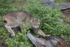Lynx striking a pose beside a log Royalty Free Stock Photo