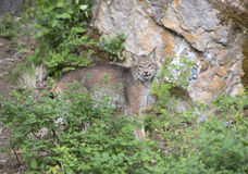 Lynx striking a pose on a rock. Lynx in front of rock looking at camera Royalty Free Stock Images