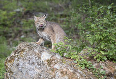Lynx striking a pose on a rock. Lynx in front of rock looking at camera Stock Photos