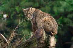 Lynx su un ceppo che esamina macchina fotografica Immagine Stock