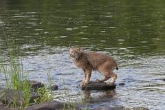 Lynx su una roccia del fiume Immagini Stock Libere da Diritti