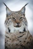 Lynx sull'allerta Immagine Stock Libera da Diritti