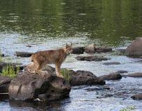 Lynx sulle rocce Fotografia Stock Libera da Diritti