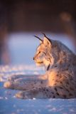 Lynx in the sunset. Eurasian lynx lies in the snow and rests Royalty Free Stock Images