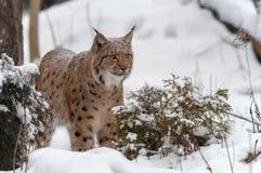 Lynx sur la neige Photos stock