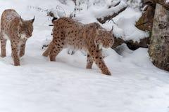 Lynx sur la neige Images stock