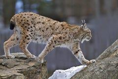 Lynx sur la roche Photographie stock