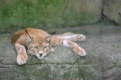 Lynx sur la roche Photos stock