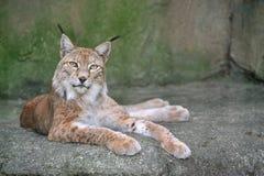 Lynx sur la roche Photographie stock libre de droits