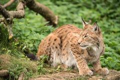 Lynx sur la roche Images libres de droits