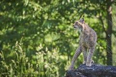 Lynx sur une roche Photographie stock