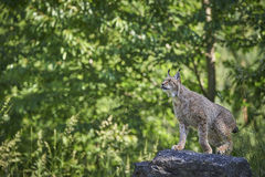 Lynx sur une roche Image stock