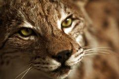 Lynx Taxidermy. Hunter Exposition. Lynx Head Closeup Royalty Free Stock Image