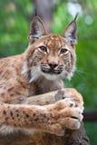 Lynx tegen wildnessgebied Stock Afbeeldingen