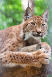 Lynx tegen wildnessgebied Royalty-vrije Stock Afbeeldingen