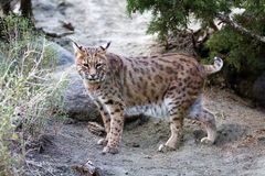 Lynx. Ten year old female North American Lynx which is also known as a bobcat Stock Photo
