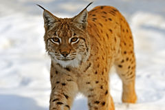 Lynx in their. Natural habitat Royalty Free Stock Photography