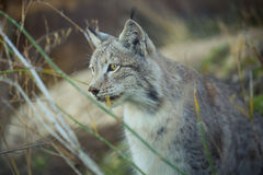 Lynx Thinking Royalty Free Stock Images