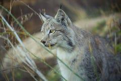 Lynx Thinking Royalty Free Stock Images