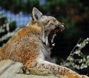 Lynx Tired Royalty Free Stock Image
