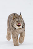Lynx with tongue out Stock Photos