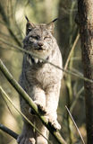 Lynx Rufus Mexican Bobcat in tree Hunting Prey Royalty Free Stock Image