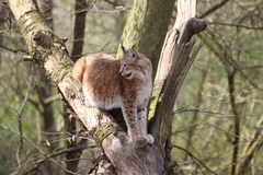 A lynx Stock Photography