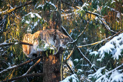 Lynx on a tree branch  in a Winter Forest Royalty Free Stock Photo