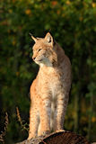 Lynx on the tree trunk. Sitting wild cat Eurasian Lynx in orange autumn leaves, forest in background. Wildlife scene in Europe. Wi Stock Images