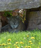 Lynx trying to stay cool. In the spring Stock Photography