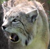 Lynx Stock Photo