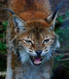 The lynx Lynx. Verry angry the lynx lynx Stock Photos