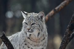 Lynx With a Very Unhappy Face. Lynx cat with an unhappy expression on his face Stock Photography