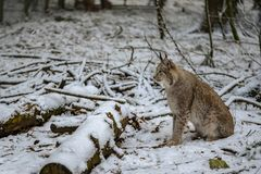 A lynx waiting for its next prey in winter. Lynx waiting for its next prey in winter Royalty Free Stock Image