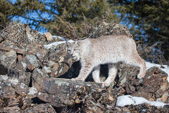 Lynx walking across rocks. Lynx walking across rocky ledge Royalty Free Stock Photos