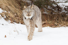 Lynx walking along forest Stock Photos